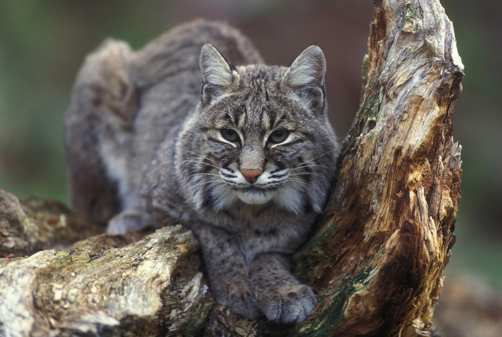 An image of a bobcat