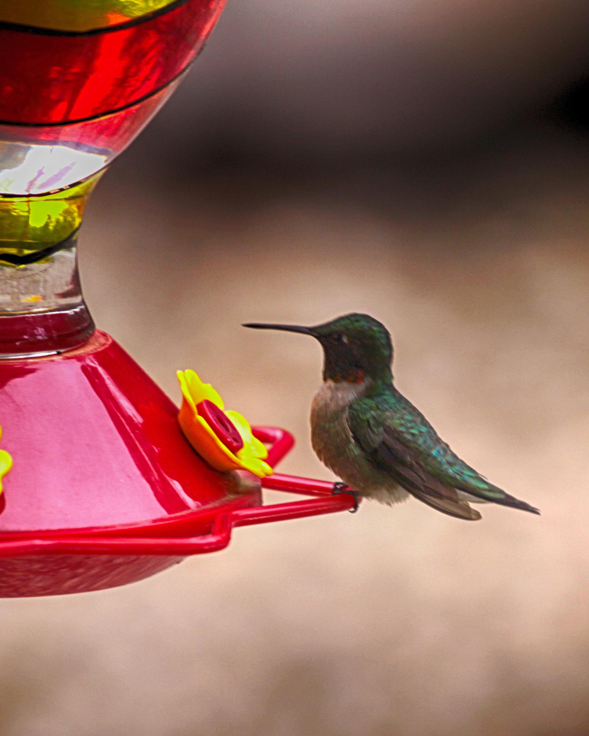 Image of ruby throated hummingbird