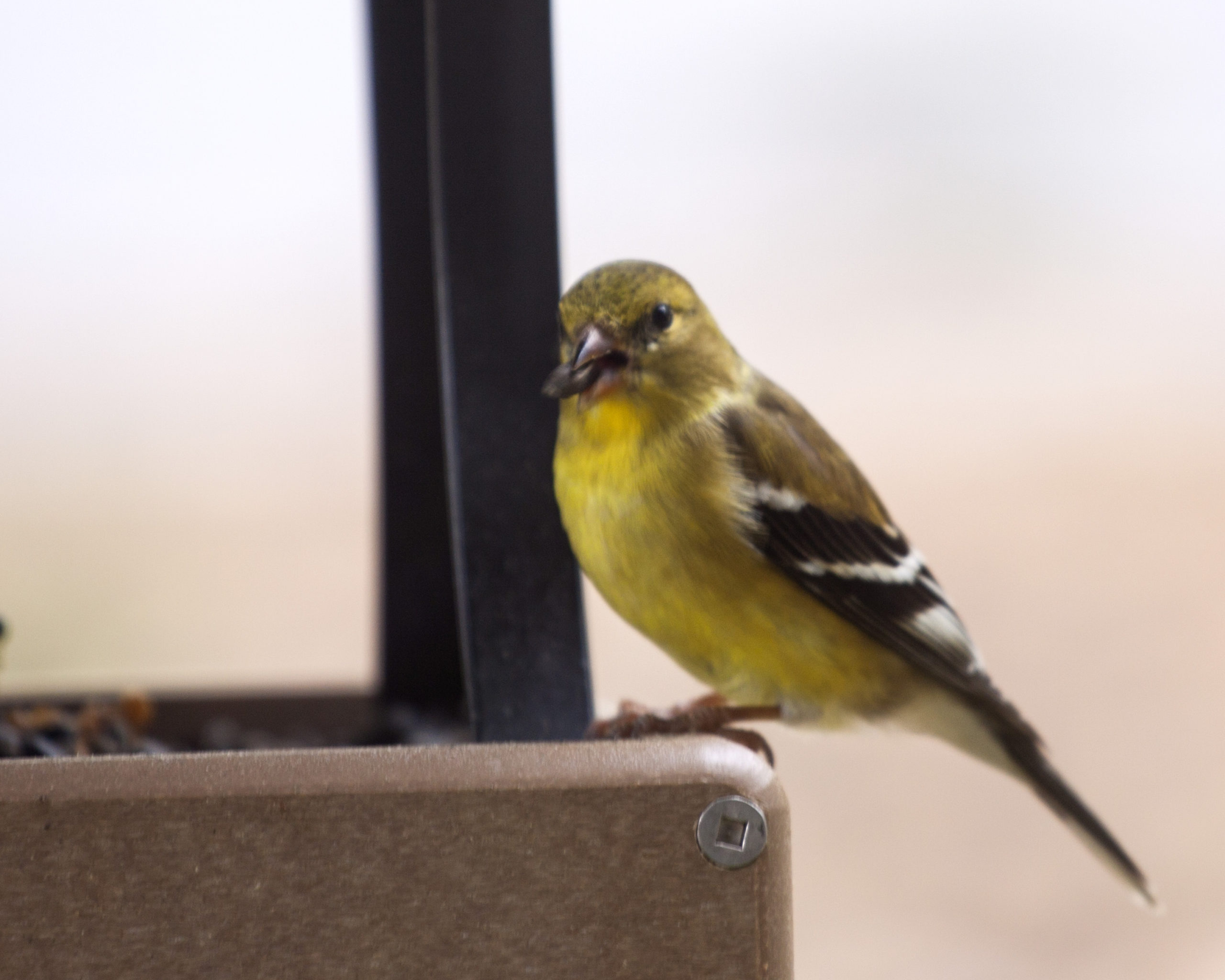 Image of Gold Finch