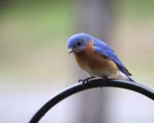 Image of bluebird