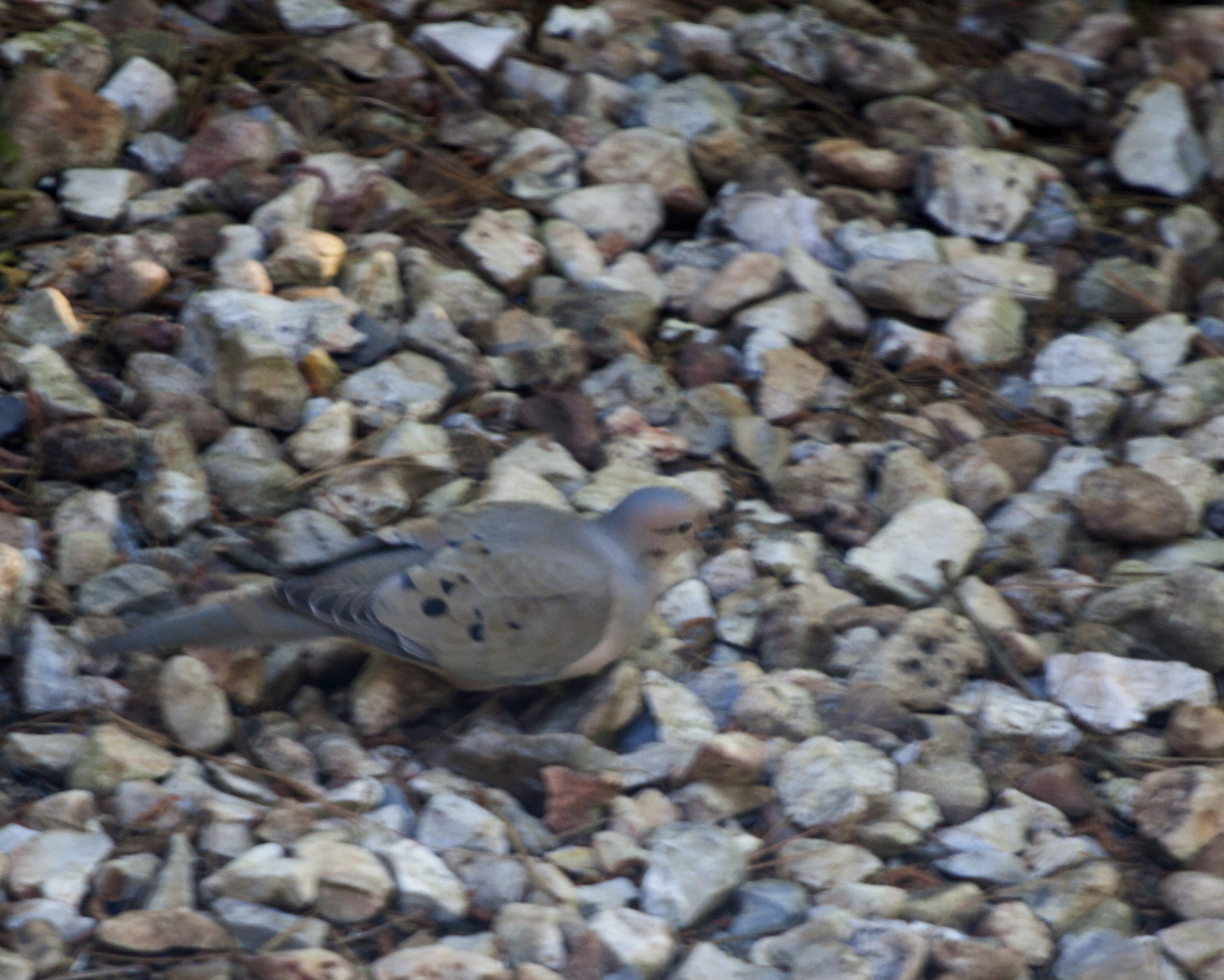 Image of Mourning Dove