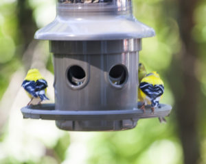 Image of gold finches on feeder