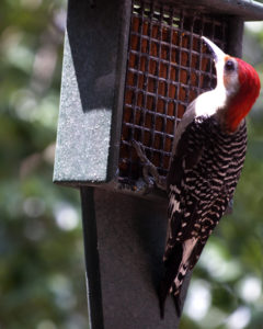 Image of red bellied woodpecker