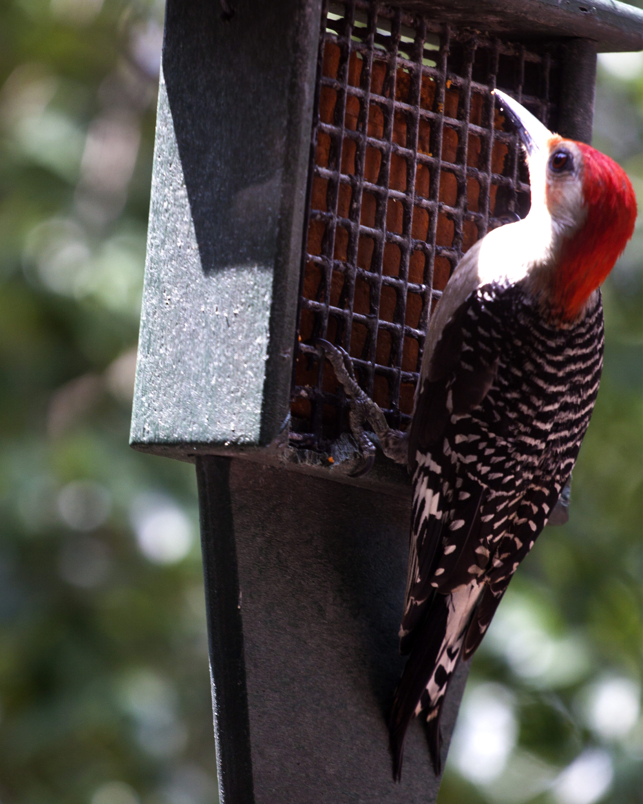Image of red=bellied woodpecker