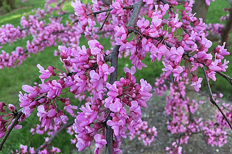 Image of a cluster of red bud blossoms